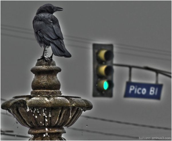the crOw... can gO... on picO