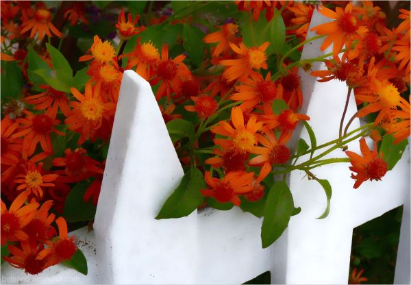 white picket fence, orange friends