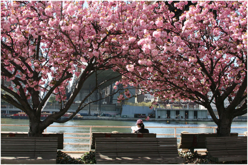 cherry blossoms in roosevelt island