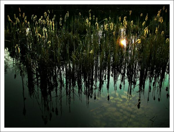 reflection in reeds