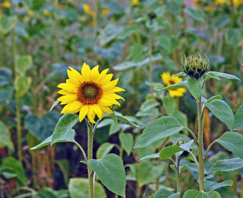 Sunflower Field 1/3