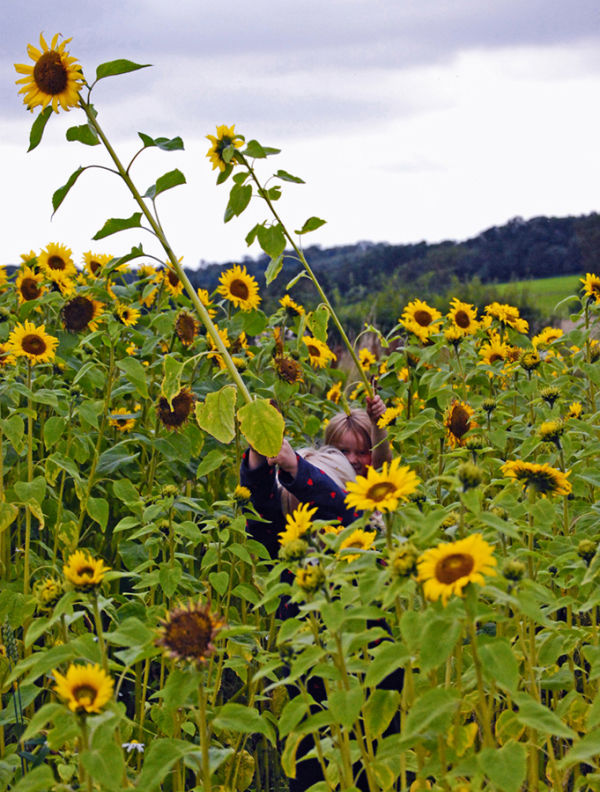 Sunflower Field  2/3