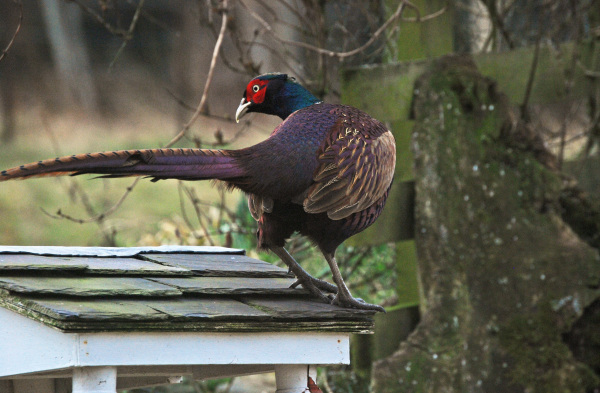 The Pheasant and the Bird Feeder 3/3