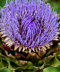 Artichoke