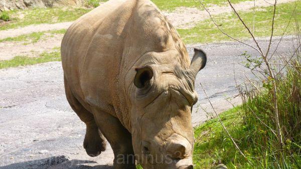 WDW, Jud, Animal Kingdom, Safari, White Rhino