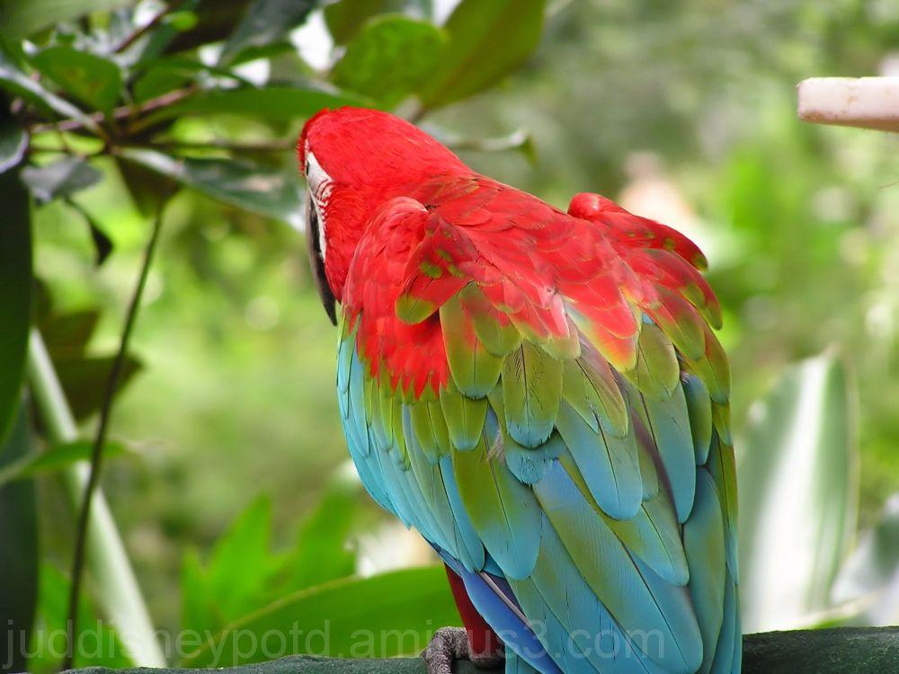 Jud, Disney, Animal Kingdom, Macaw