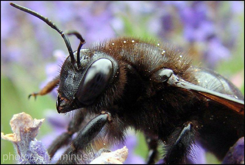 porteur de pollen