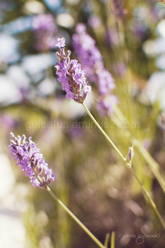 Lavender (more!)