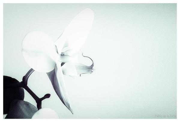 Dos orquídeas, I