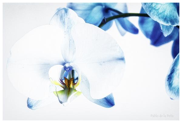Dos orquídeas, y II