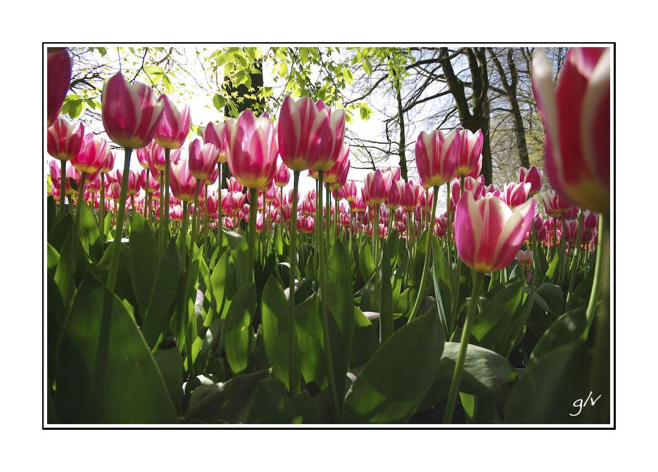 Interlude - une forêt de tulipes