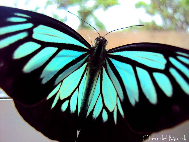 turquoise-winged butterfly