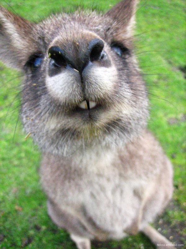 Kangaroo's Nose