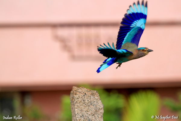 Indian Roller - Flight