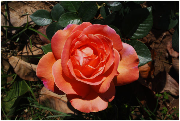 Orange Rose, Chandigarh Rose Garden
