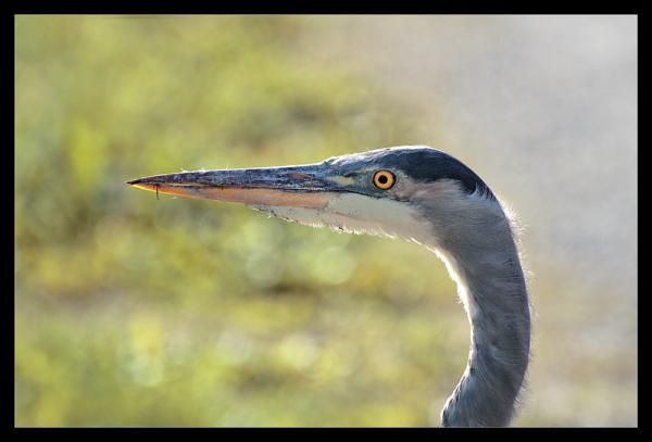 A Heron poses