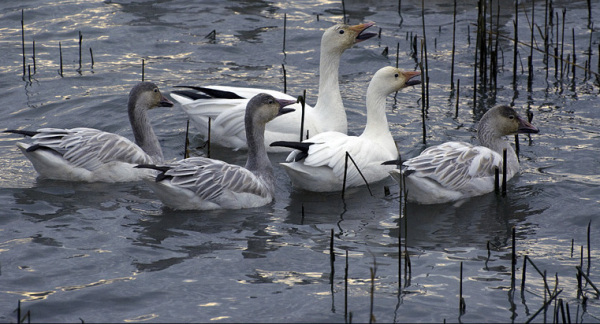 The Snowgoose familly