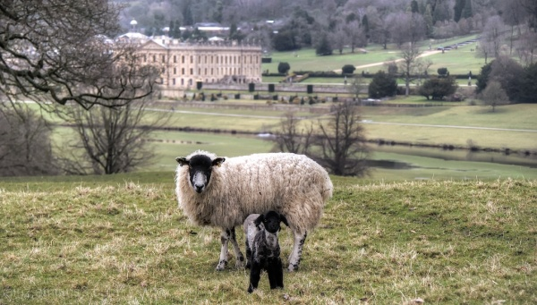 Chatsworth Lamb