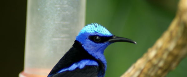 Male Red-Legged Honeycreeper