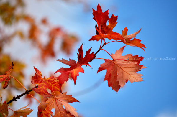 Flaming Maple