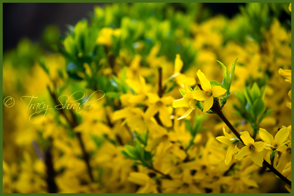 Yellow Hedge (Forsythia)