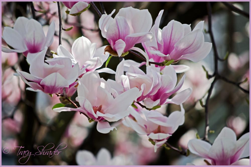 March Magnolias