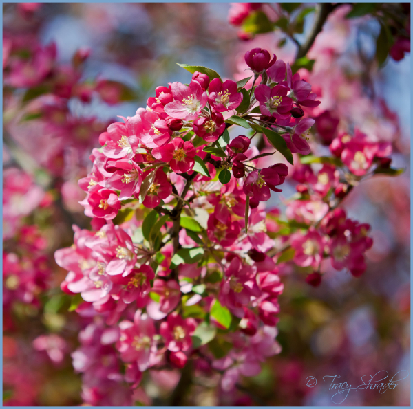 Early Blossoms, #5