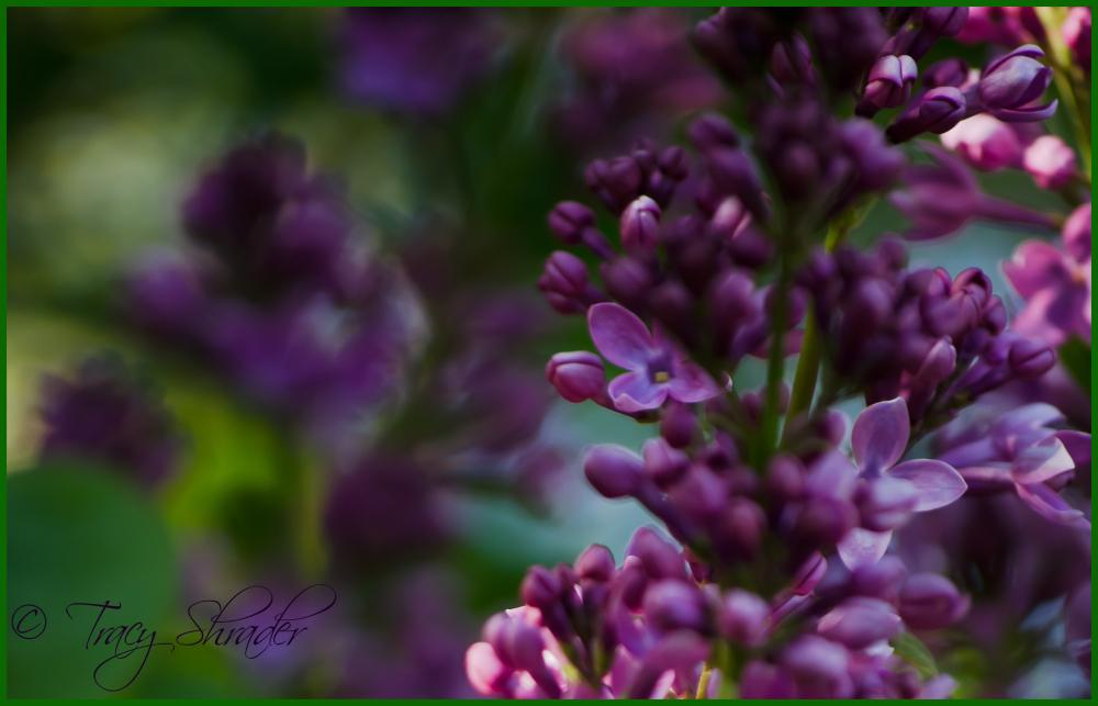 Lovely Lilacs #7