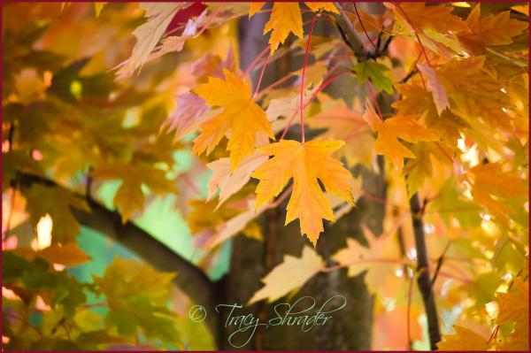 Maple, My Favorite #2