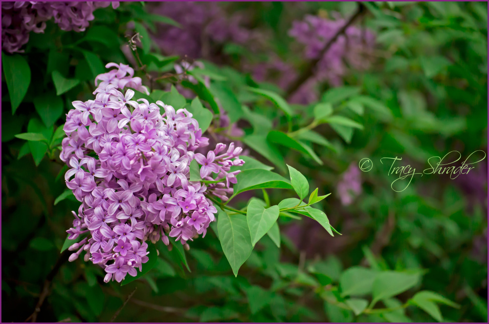 Lorraine's Lilacs