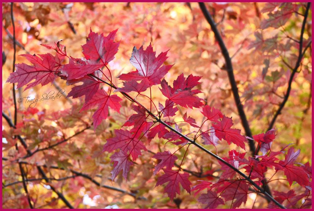 Marvelous Maple
