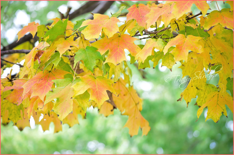 Colorful Maple