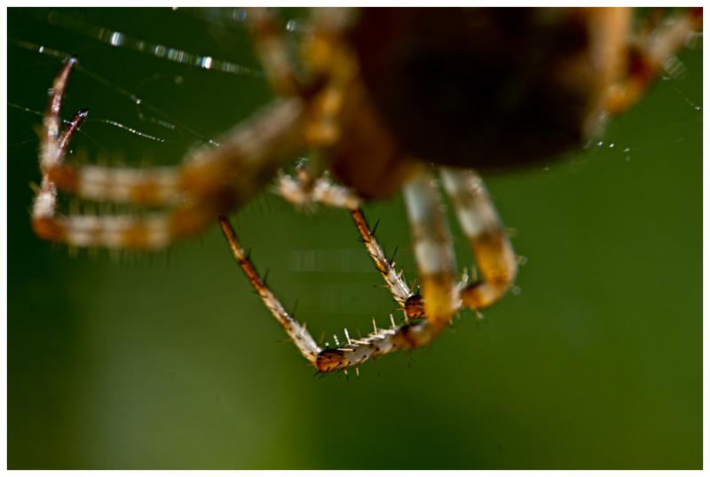 Spinnenbein