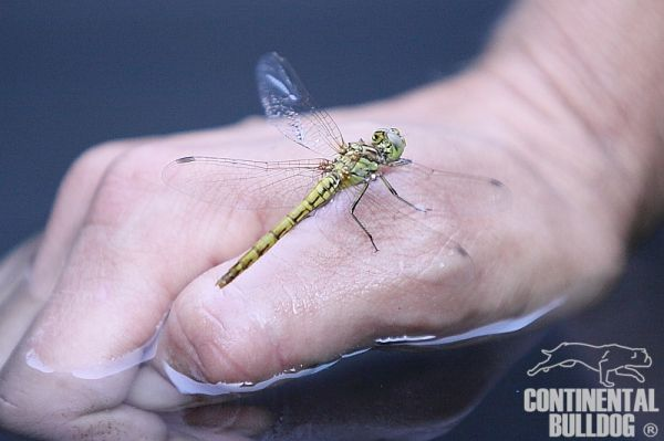 Libelle; Dragonfly