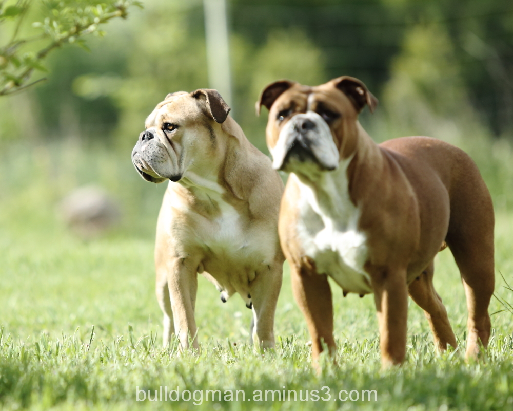 Two Bulldog Ladies