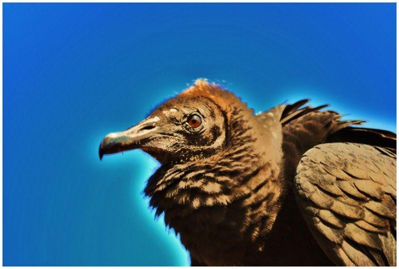 My American Black Vulture