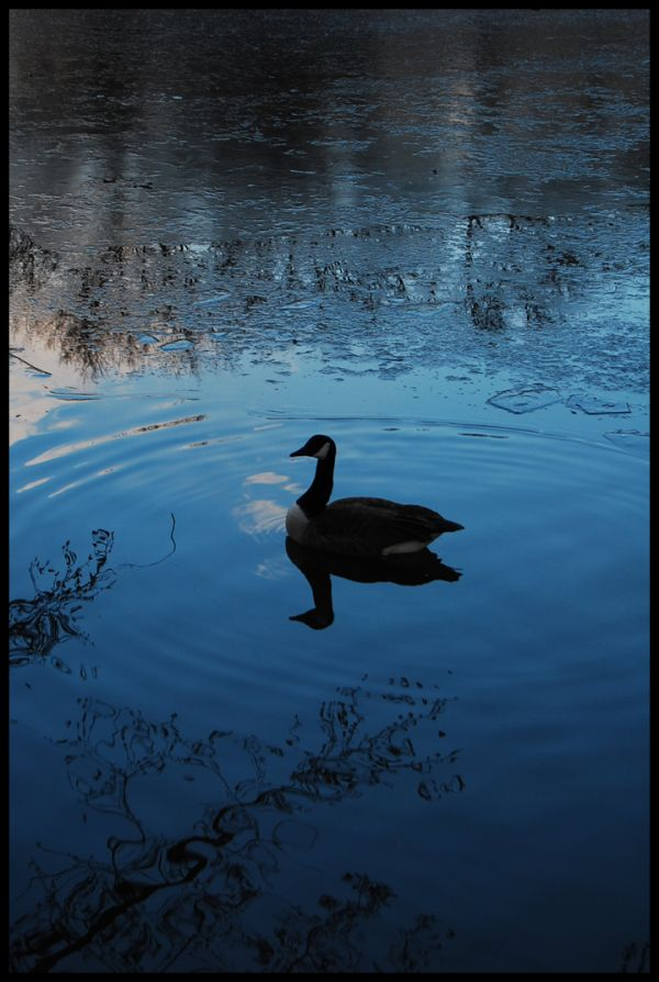 Duck, Reflection, Lake, Water, Winter, Nature, Lif