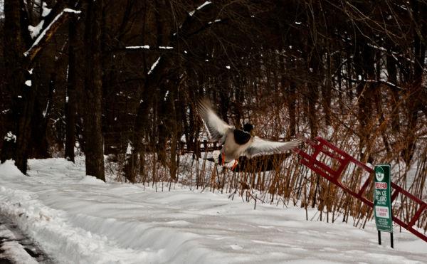 Duck, Flight, Flying, snow, winter, signs, Nature,