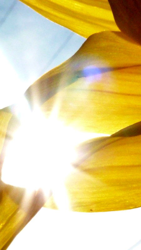 sun shine sunflower