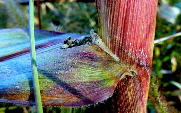 Corn's story