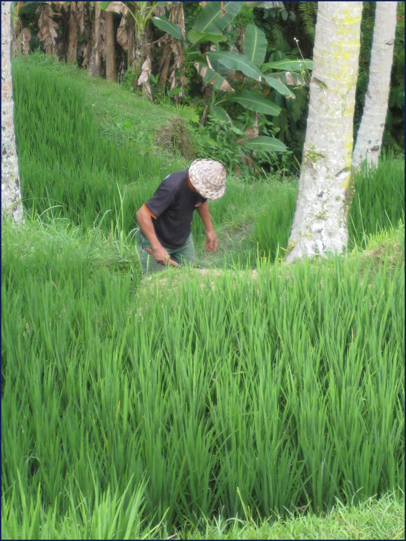 Bali- farmer tending rice terrace