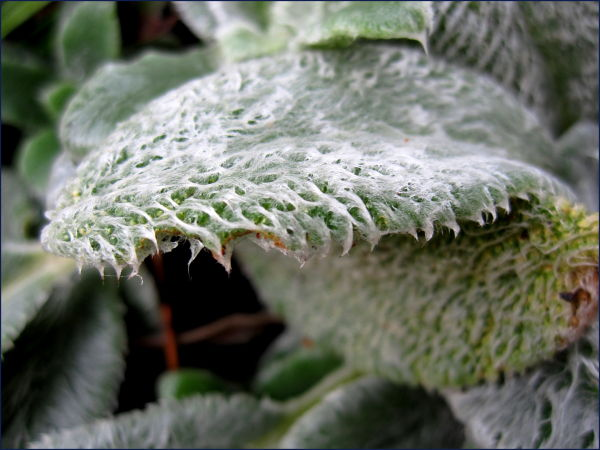 wet lamb's ear leaf