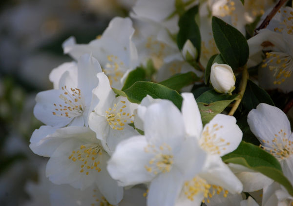 Mock Orange Blossom 1/2