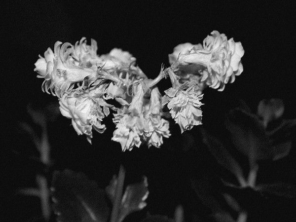 plants nature black and white rainbowbw flower