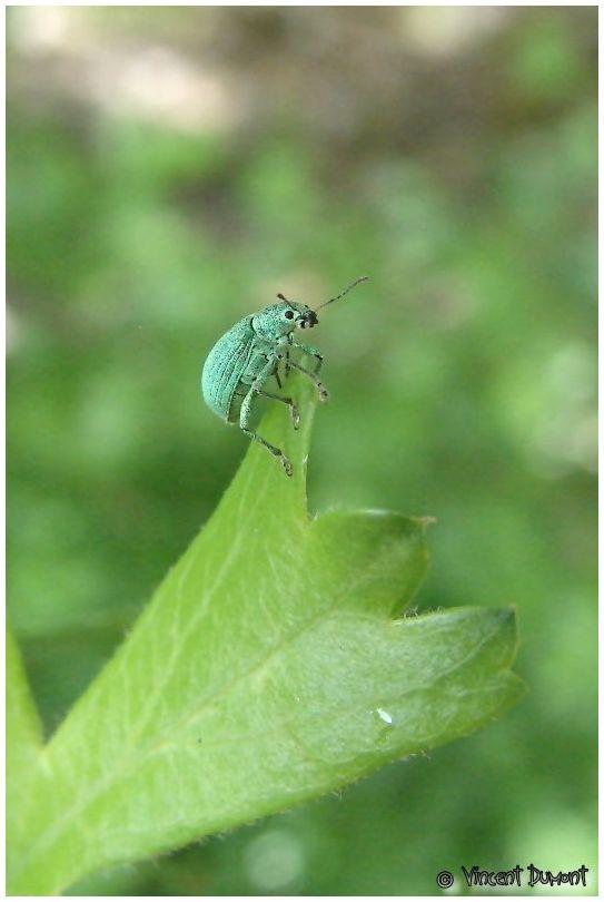 Phylobius