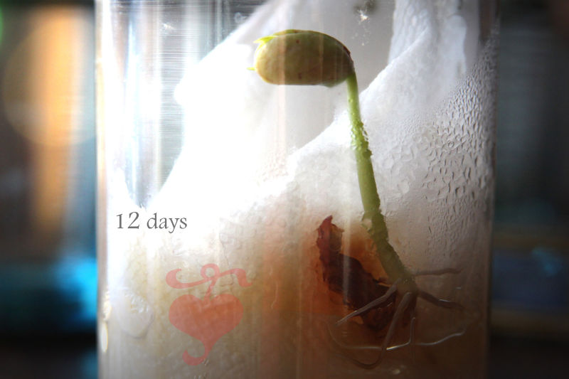 12 days and it has sprouted.