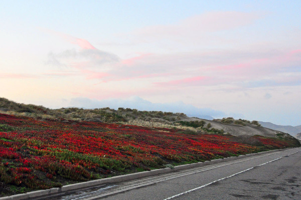 Ice Plants View at Great Highway