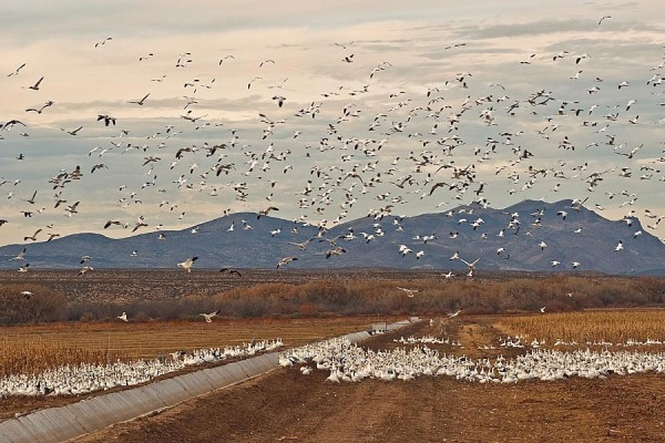 "Can you count, at "" Bosque del Apache NWR """