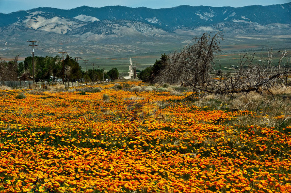 California Poppies at Antelope Valley