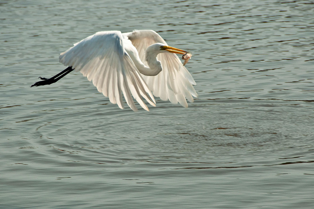 """Egret """" I will have a big meal """""""